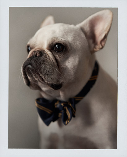 French bulldog wearing repp-stripe bow tie