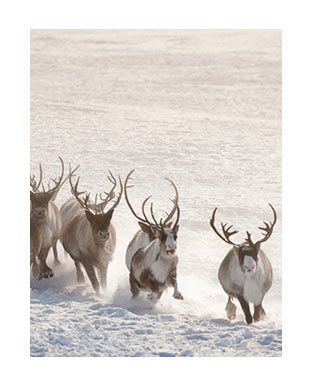 Photograph of elks on snowy landscape