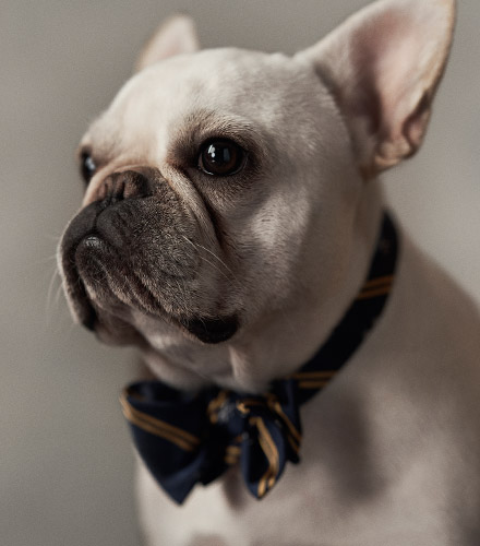 French bulldog wearing repp stripe bow tie